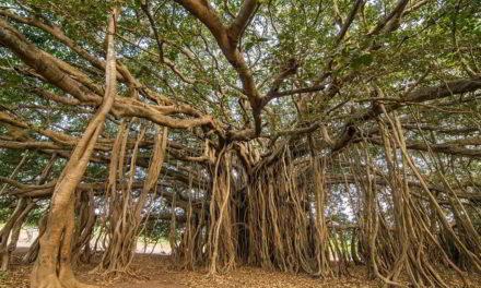 El árbol que forma 19.000 m2 de bosque